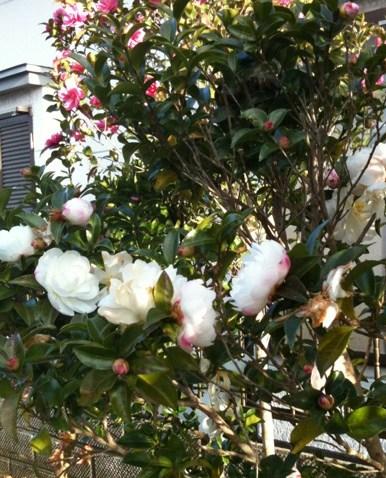 遅咲きの花.JPG