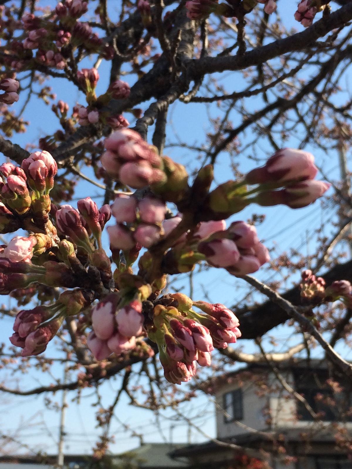 我が家周辺桜.jpg